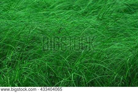 Thickets Of Marsh Grass, Green Natural Partially Blurred Background