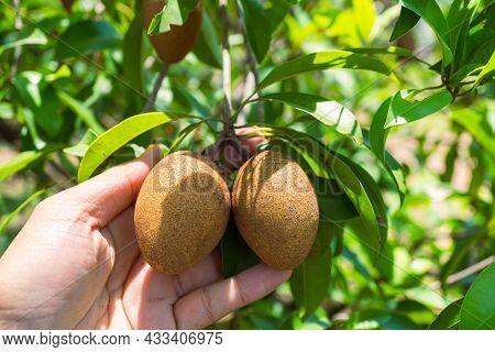 Ripe Sapodilla Garden., Farmer Picking Pear Fruit Grown In The Organic Garden., Male Hand Holding Ri