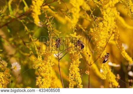 Detail Of A European Or Western Honey Bee Pollinating Yellow Ambrosia Flowers With Warm Sunlight On
