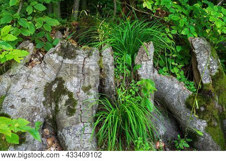 Stump Covered With Moss And Grass Growing From A Tree Stump In The Forest. Beautiful Nature Photo, S