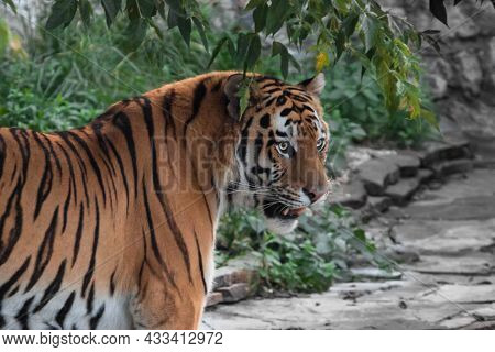 The Head Of A Tiger With An Open Mouth Against A Background Of Green Leaves Amur Tiger