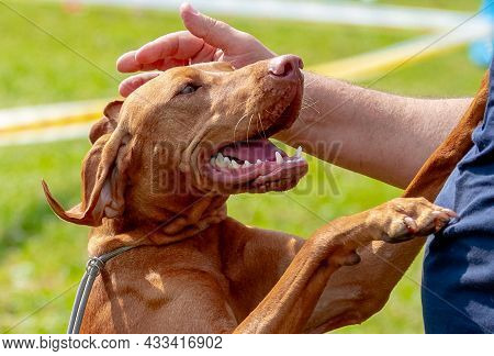 The Mistress Caresses Her Dog With Her Hand Breed Hungarian Pointer (vizsla)