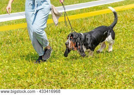 Dog Breed Basset Hound  On A Walk Next To His Mistress