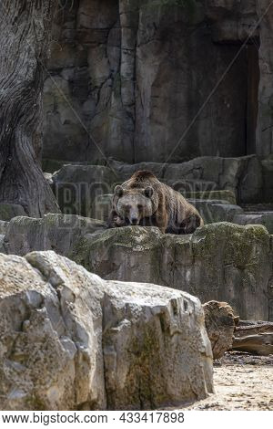 Brown Bear On Rocks At The Zoo Concept Of Conservation Of Wildlife In Captivity. Vertical Photo And