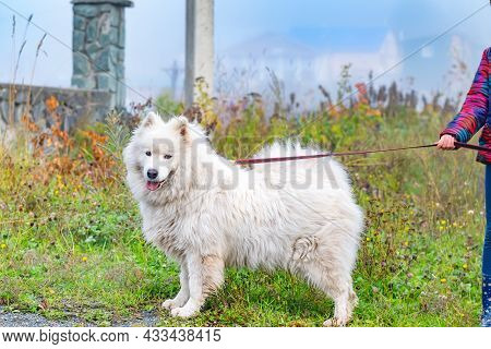 A White Big Fluffy Dog, A Samoyed Husky Breed, An Arctic Pomeranian Stands On A Long Leash, Which Is