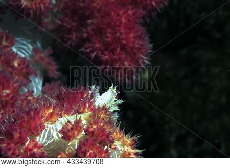 Candy Crab Also Known As Commensal Soft Coral Crab On Dendronephtya Coral Cebu Philippines
