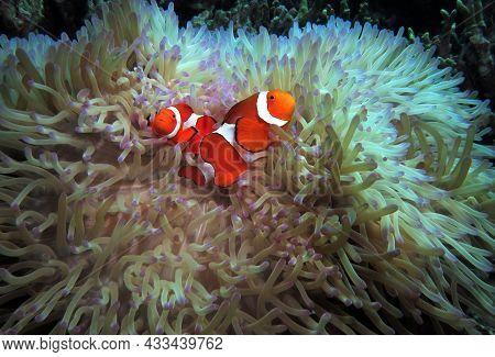 A Pair Of False Clown Anemonefish In Anemone Cebu Philippines