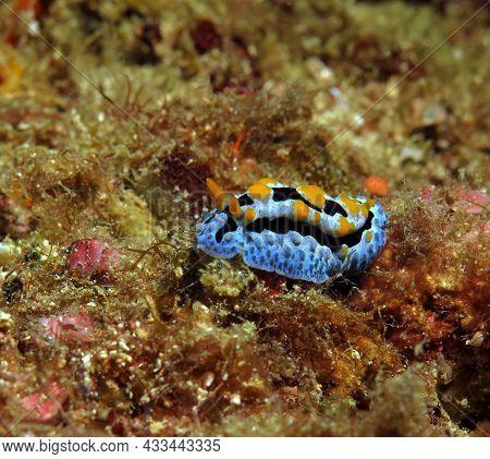 A Phyllidia Varicosa Nudibranch Crawling Boracay Philippines