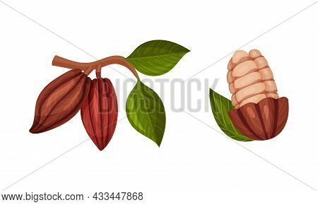 Pod Of Theobroma Cacao With Cocoa Bean Inside As Aromatic Chocolate Ingredient Vector Set
