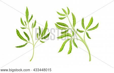 Cannabis Plant Growing With Serrate Leaflet As Cultivar For Medical Use Vector Set