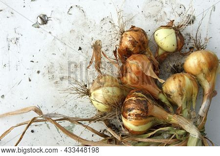 Onion Still Life Outdoors. Bulbs After Digging Out Of The Soil. Onions Crop In The Garden. Agricultu