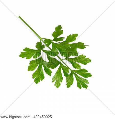 Parsley  Leaf Isolated On White  Background. Fresh Organic Parsley Herb Leaves. Parsley Branch. Gree