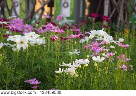 Cosmos Bipinnatus Blossoming In Spring With Vibrant Colour