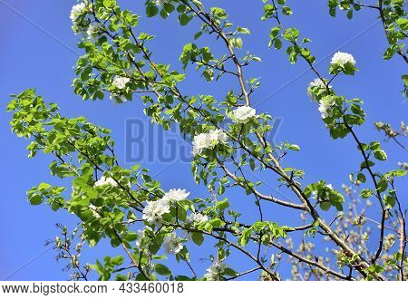 White Flower Petals On Green Branches In Spring In Sunlight Against A Clear Blue Sky . Nature Of Sib