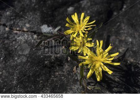 Three Marsh Hawk's-beard Flowers Grow In A Crevice In The Rock