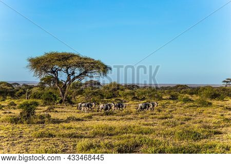 Kenya. Amboseli Park is reserve at the Kilimanjaro mountain. The flock of wildebeest. Savanna with rare bushes and desert acacies. The concept of ecological and photo tourism
