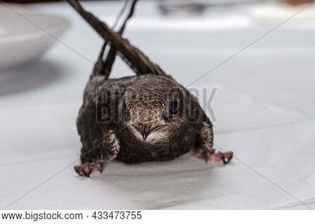 Nestling Of Black Swift Handpicked For Salvation After That Was Fallen Out Of The Nest, During Nursi