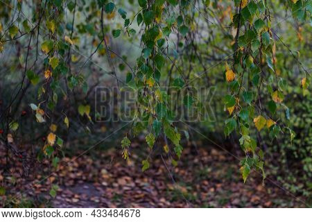 Defocus Close-up Yellow Leaves Of Birch Trees And Aspen On Autumn Forest In Background. Late Autumn,