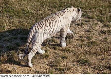 White Tiger Patrolling Its Territory To Look For Prey.