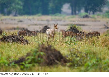 Sambar Deer Or Rusa Unicolor In Open Field Or Grassland At Forest Of Central India
