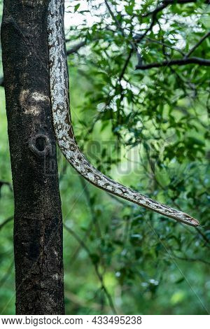 Python Molurus Or Indian Rock Python Hanging On Tree In Natural Monsoon Green Background At Ranthamb