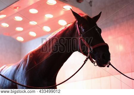 Sports Horse Stands After Training In Equine Solarium Closeup