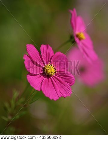 Pink Cosmos Flower On Blurred Background On Sunny Day. Cosmos Bipinnatus, Garden Cosmos Or Mexican A