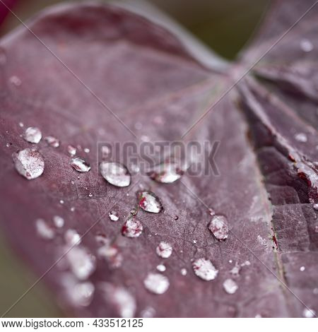 Selective Focus Image Of Autumn Leaf With Deep Red Color And Shallow Depth Of Field And Droplets Of