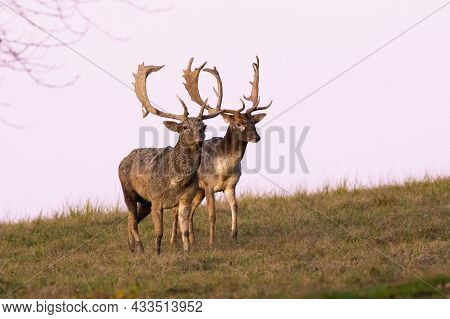 Two Fallow Deer Stags Walking Side By Side On Meadow During A Duel