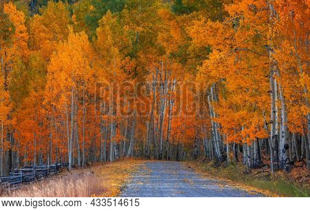 Bright Aspen trees along rural drive in Colorado during autumn time