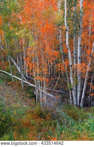 Aspen trees during autumn time in Colorado San Juan mountains