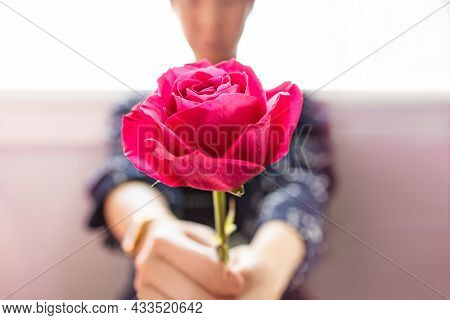 Selective Focus On Blossom Pink Rose In People's Hands Giving To Special Person, Depth Of Field. Sym