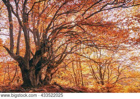 Beautiful Autumn Trees With Orange Foliage In The Forest, The Sun's Rays Break Through The Foliage O