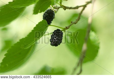 The Fruit Of Black Mulberry - Mulberry Tree.