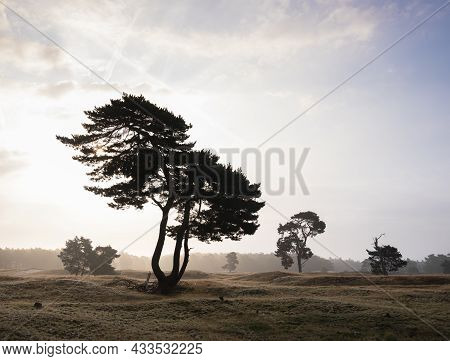 Foggy Summer Morning Shows Silhouettes Of Pine Trees On The Moor Between Zeist And Driebergen In Dut