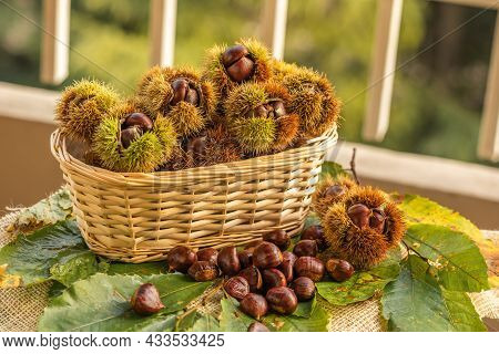 Ripe Chestnuts In Husks In A Wicker Basket Close Up. Sweet Raw Chestnuts. Chestnuts With Skin. Organ