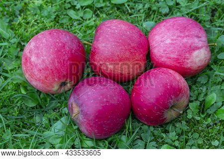 Five Fallen Red Apples On The Green Grass In The Garden. Autumn Background. Thanksgiving. Food Backg