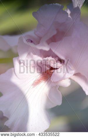 Iris Flower Close Up.