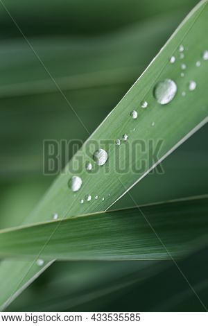 Nature Background. Fresh Green Grass With Dew Drops Closeup