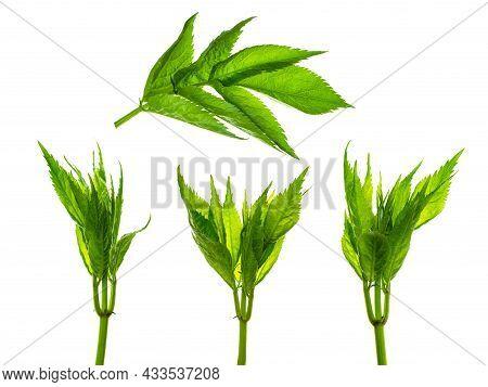 Leaves Set Of Elderflower. Elderberry, Flowering Medicinal Plant. Elder .medicinal Herbs. For Decora