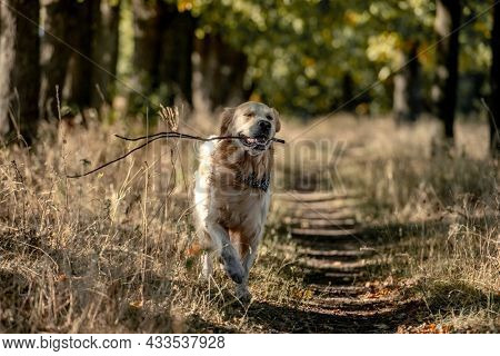 Golden retriever dog holding stick in its mouth in autumn day outdoors. Purebred pet labrador walking at nature