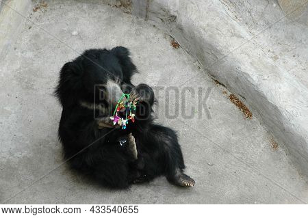 A Little Sloth Bear Is Playing With A Childrens Toy. A Bright Pinwheel In The Paws Of A Bear. A Bear