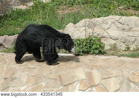 A Little Bear Cub Walks Around The Aviary. The Sloth Bear. A Bear Cub In The Zoo.