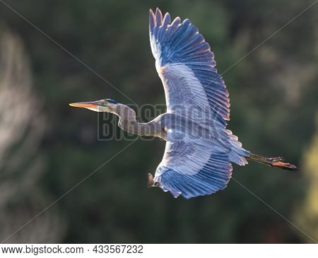 A Great Blue Heron With Fully Outstretched Wings Flies Toward The Late Afternoon Sun.