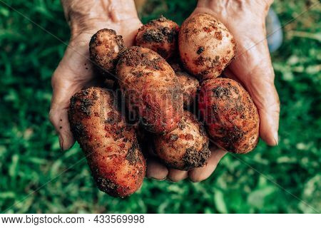 Dirty Fresh Potatoes In Very Old Caucasian Womans Hands. Harvesting Vegetables. Farmers. Organic Pro