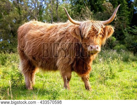 Scottish Highland Cow on the Isle of Skye, Scotland close up