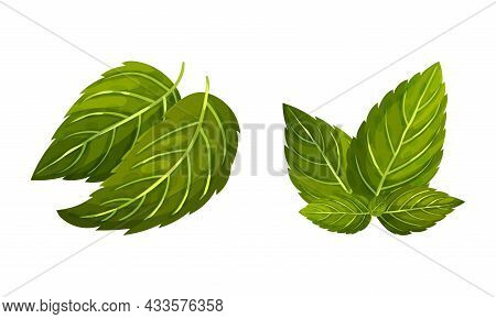 Set Of Mint Green Leaves. Peppermint Fresh Herb Vector Illustration