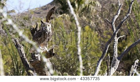 A Great Horned Owl Bubo virginianus on a Snag in the Sonoran Desert poster