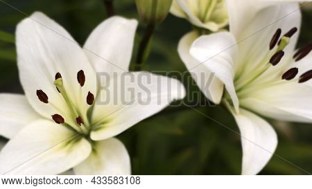 Lily Flowers In Garden, White Lily Flowers Close - Up View