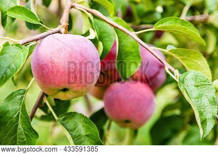 Ripe Ed Apples Hanging On A Branch In The Garden Closeup